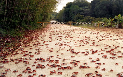 Australia March of the Red Crabs